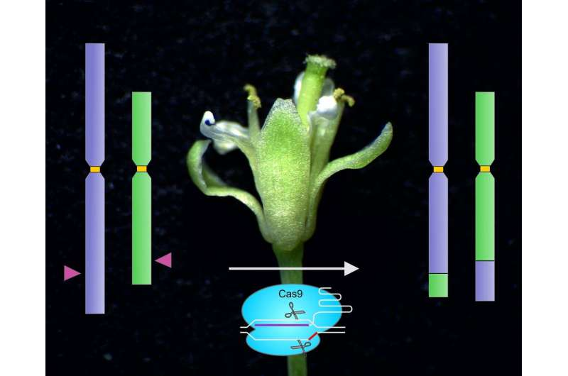 Exchange of arms between chromosomes using molecular scissors