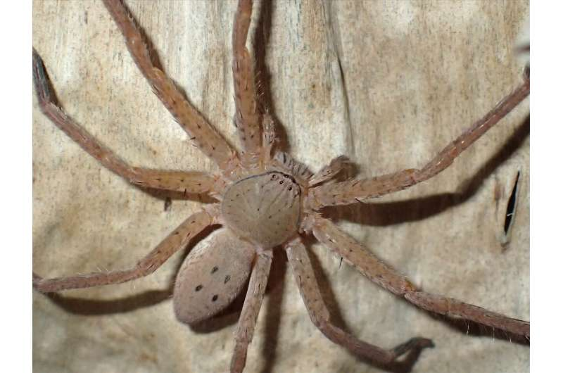 New species of spiders described in honour of Swedish climate activist