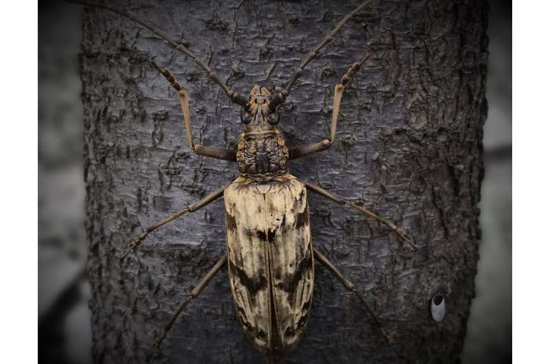 Beetle that can survive in volcanic areas inspires new cooling materials