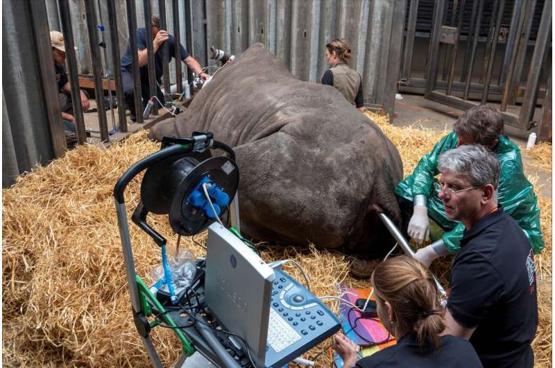 Researchers perform southern white rhino oocyte collection and embryo creation