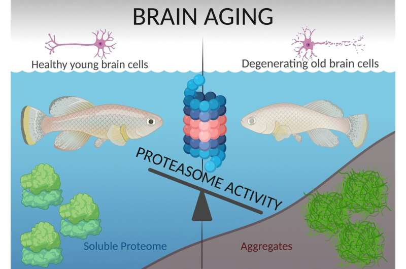 Ability to eliminate spent proteins influences brain aging and individual life span