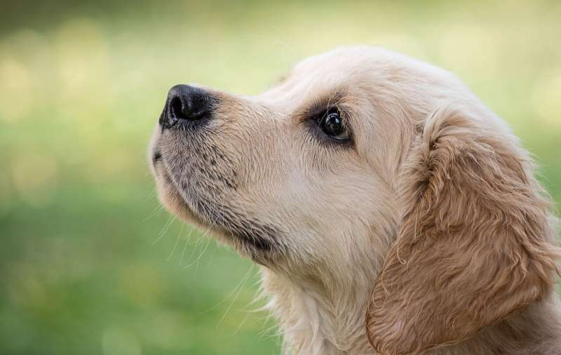 COVID-19 dogs could be sniffing out cases in months