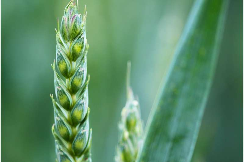 Study sheds new light on vein formation in plants