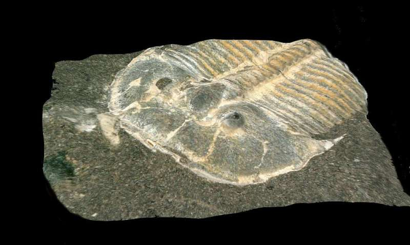429-million-year-old eye provides a view of trilobite life