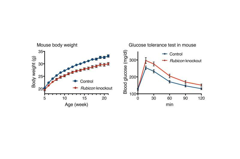 Is turning back the clock in aging fat cells a remedy for lifestyle diseases?