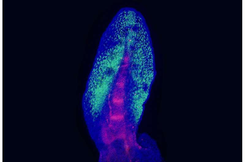 Lungfish fins reveal how limbs evolved