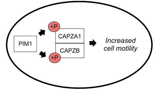 Researchers discover new information on the regulation of cancer cell motility