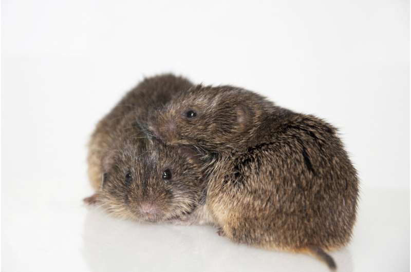 Amount of attention from parents found to impact baby voles later in life