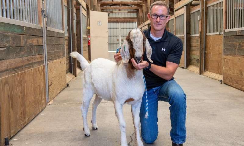 Gene-edited livestock 'surrogate sires' successfully made fertile