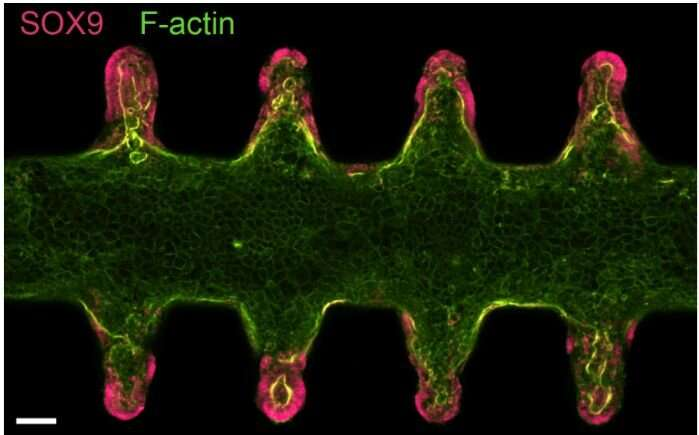 Next-gen organoids grow and function like real tissues
