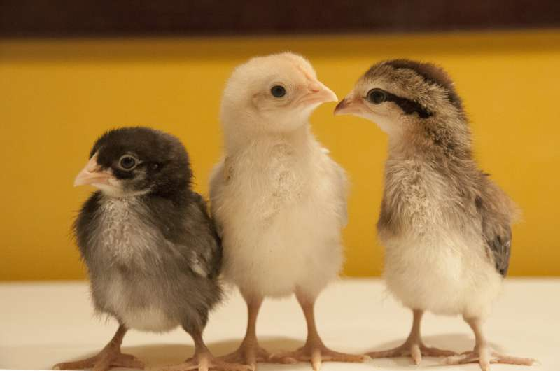 Epigenetics linked to genetic differences between domesticated and wild chickens
