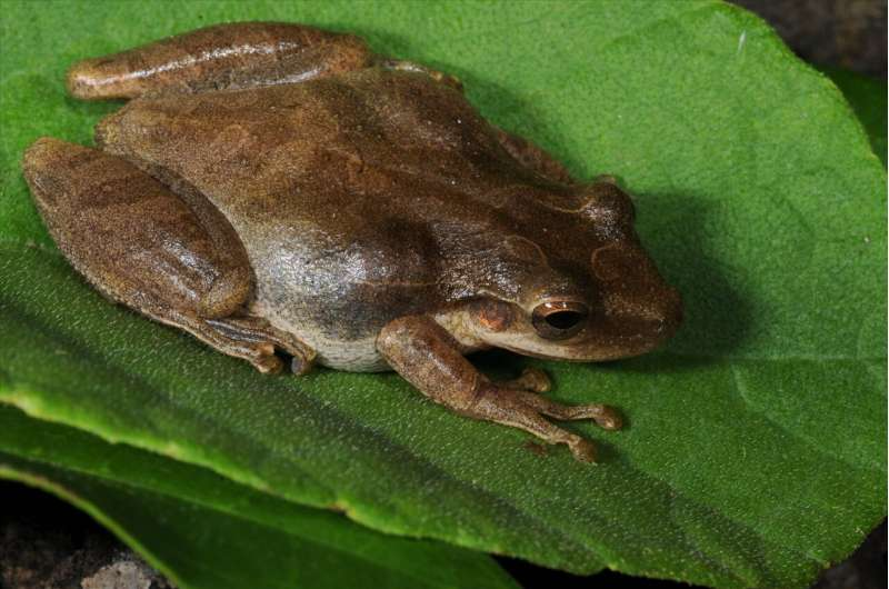 Researchers study the invasive frog's role in Galapagos food web
