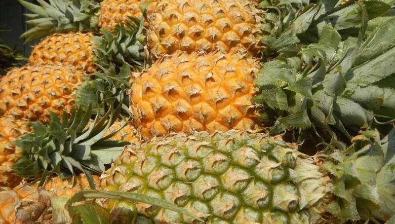 Scientists turn pineapple waste into high-value aerogels