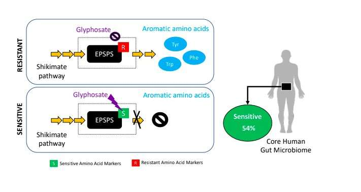Glyphosate may affect human gut microbiota