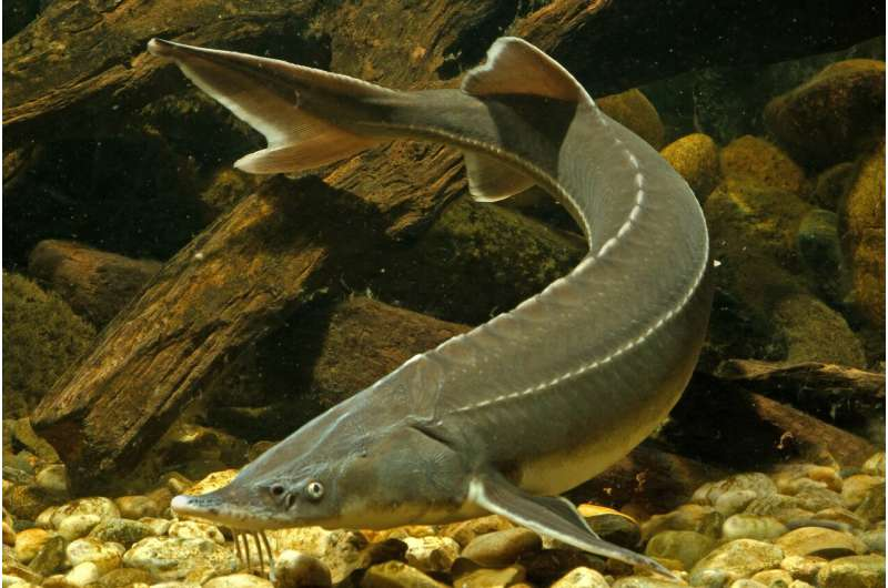 Discovery of a genetic sex marker in sturgeon
