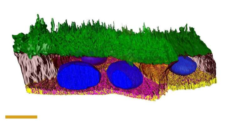 Reconstruction of eye tissue gives new insight into outer retina.