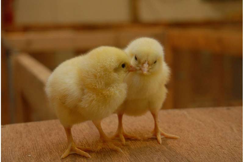 Spontaneous intake of essential oils: long-lasting benefits for chicks