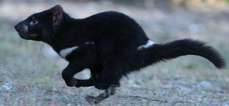 Tasmanian devils may survive their own pandemic