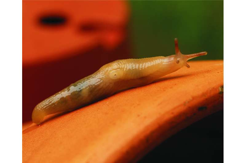 "Genetic research reveals the origin, diversity and colonisation history of the invasive ""tramp slug"""