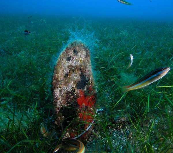 Fan mussel larval dispersal is decisive for the future of an endangered species