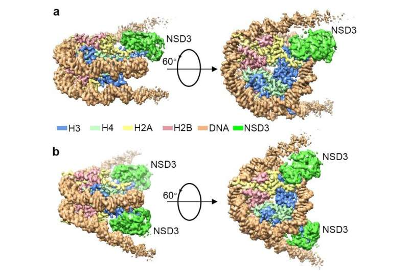 Researchers reveal the first cryo-EM structures of NSD2 and NSD3 in complex with nucleosome