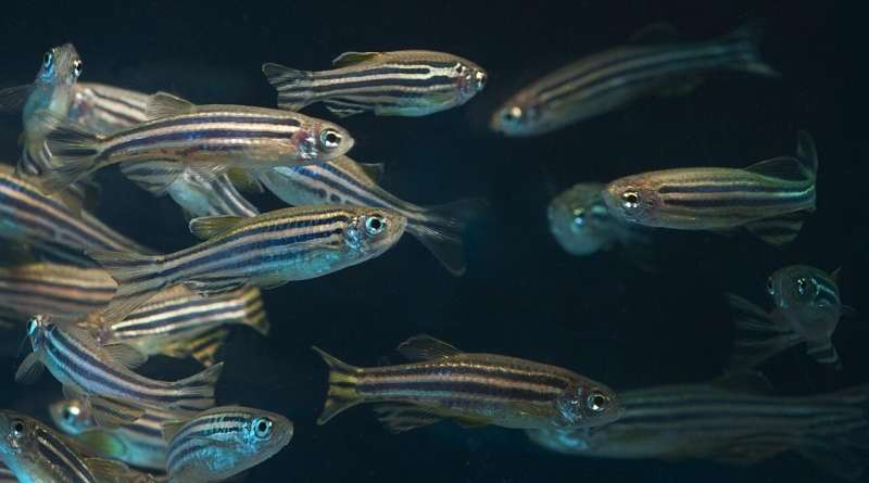 5G networks have few health impacts, Oregon State study using zebrafish model finds