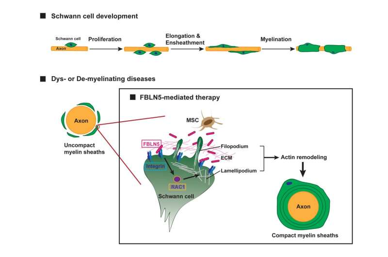 Study reveals fibulin 5 is required for Schwann cells' myelination
