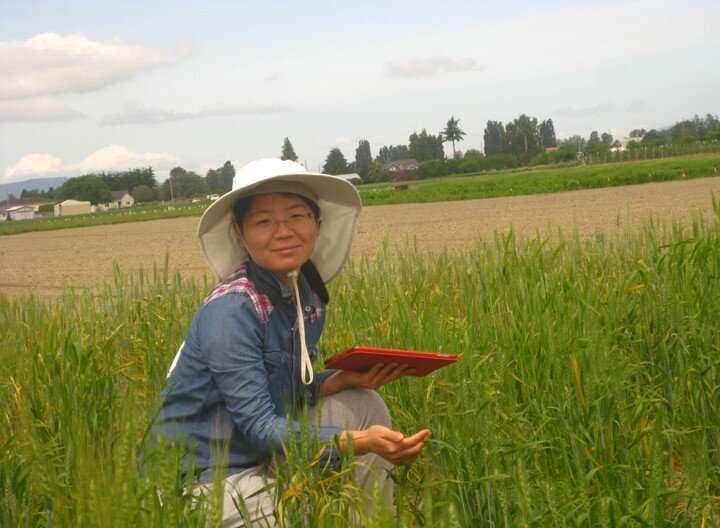 New study identifies wheat varieties that resist the destructive stripe rust disease