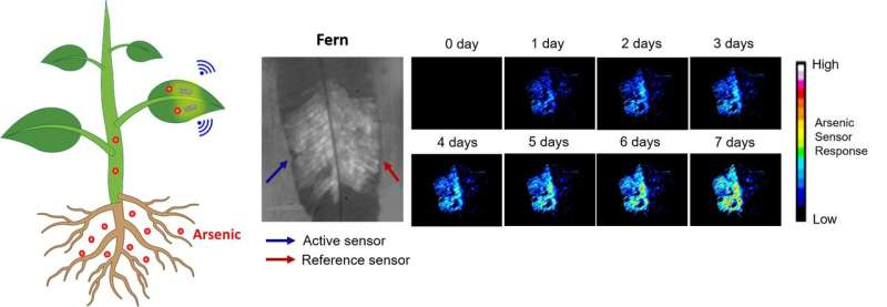 SMART researchers develop new class of plant nanobionic sensor to monitor arsenic levels in soil