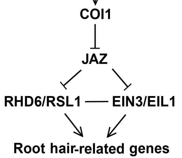 Study reveals mechanism of jasmonate-promoted root hair growth in arabidopsis