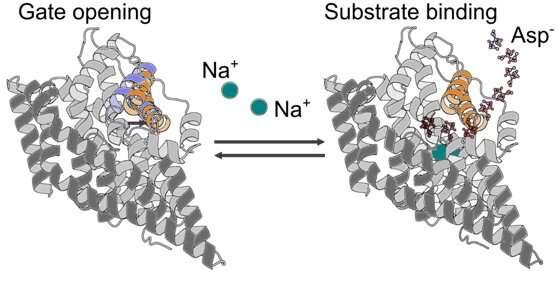 Researchers illuminate neurotransmitter transport using X-ray crystallography and molecular simulations