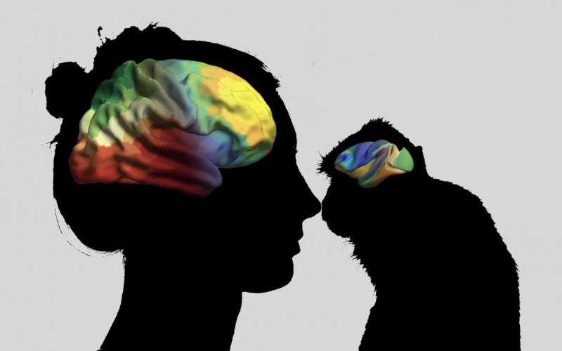 Evolutionary and heritable axes shape our brain