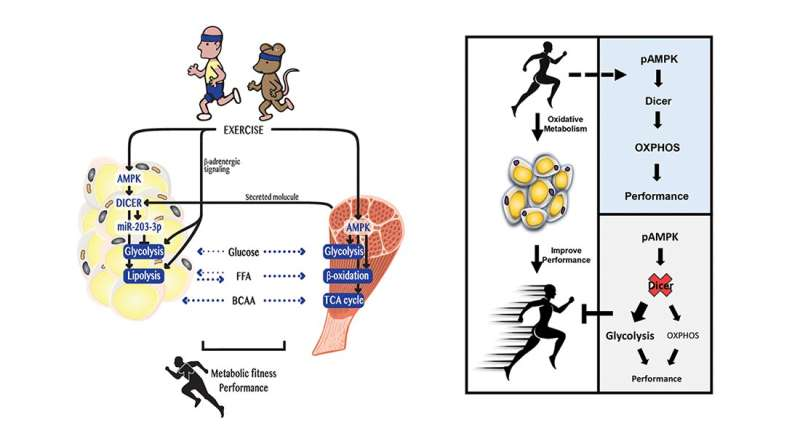 New insight into how muscles and fat cells work together to make you more fit