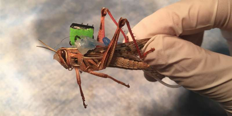 Researchers use grasshoppers to detect explosive chemical vapors