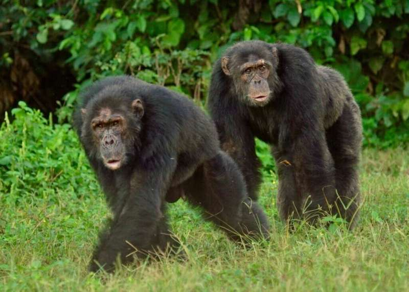 Researchers find cardiovascular health similarities between chimpanzees, humans