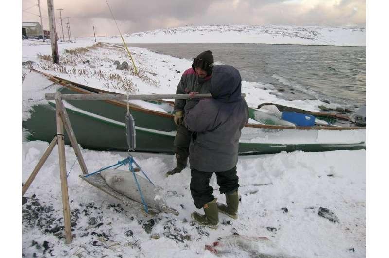 Researchers find consistent mercury levels in arctic seals