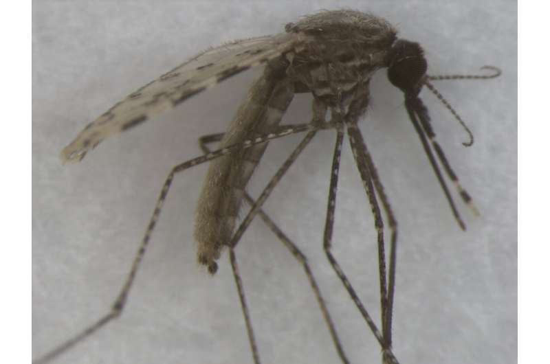 Researchers use artificial intelligence to ID mosquitos