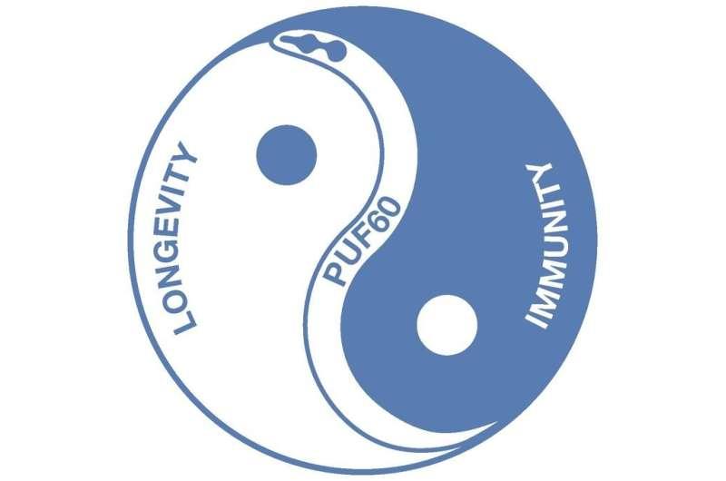 A balancing act between immunity and longevity