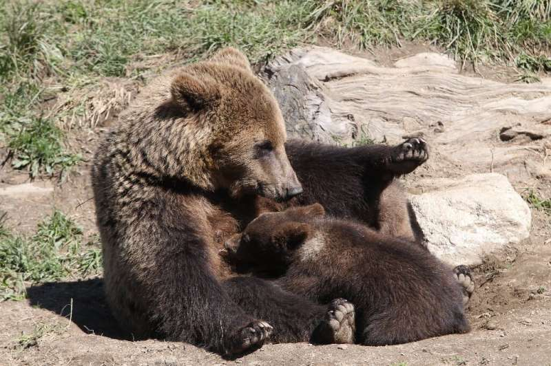 About 50 brown bears roam the Pyrenees today but their presence has caused tensions with livestock farmers