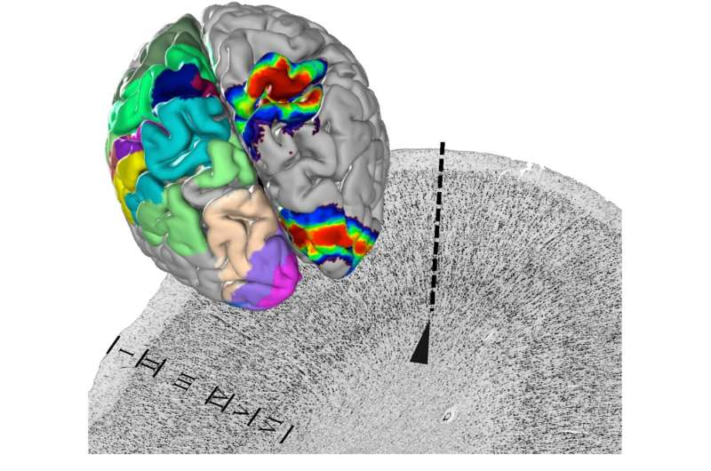 A centerpiece of EBRAINS' human brain atlas is presented in 'Science'