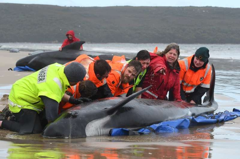 A crew of around 60 conservationists and skilled volunteers have spent days trying to rescue whales stranded in Macquarie Harbou
