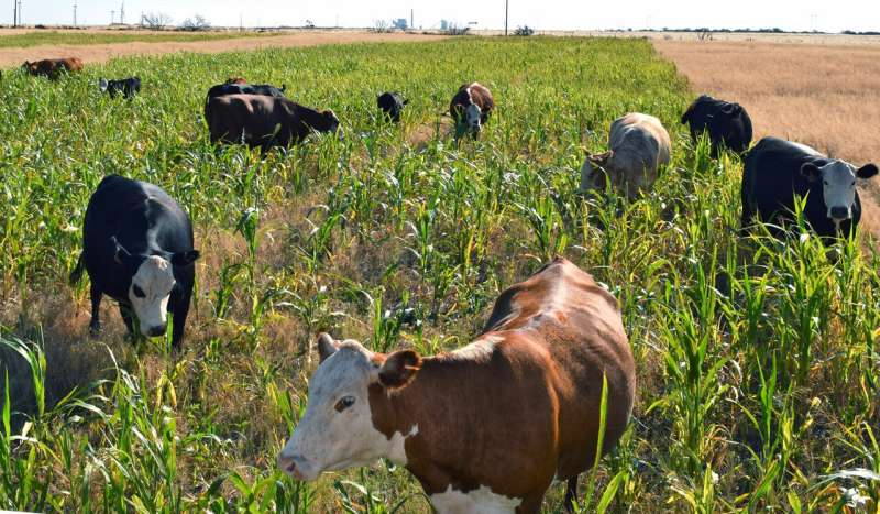 Adding grazing to cover crops can benefit bottom line