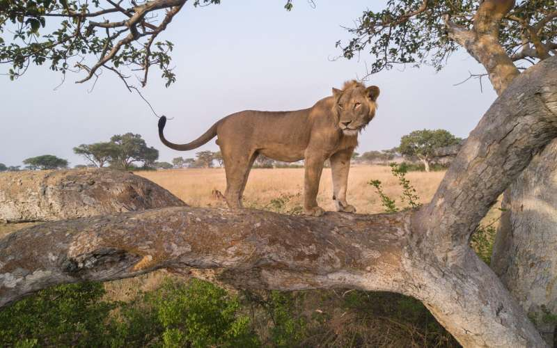 African lion counts miss the mark, but new method shows promise