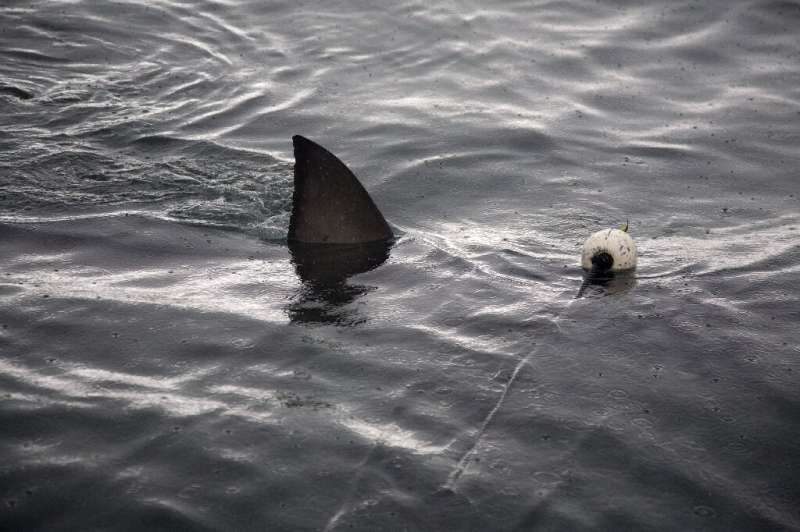 A great white shark pictured in waters off Gansbaii near Cape Town a decade ago—their numbers have steeply declined
