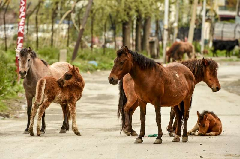 A herd of horses seen on a deserted road in a residential area of Srinagar, in Kashmir