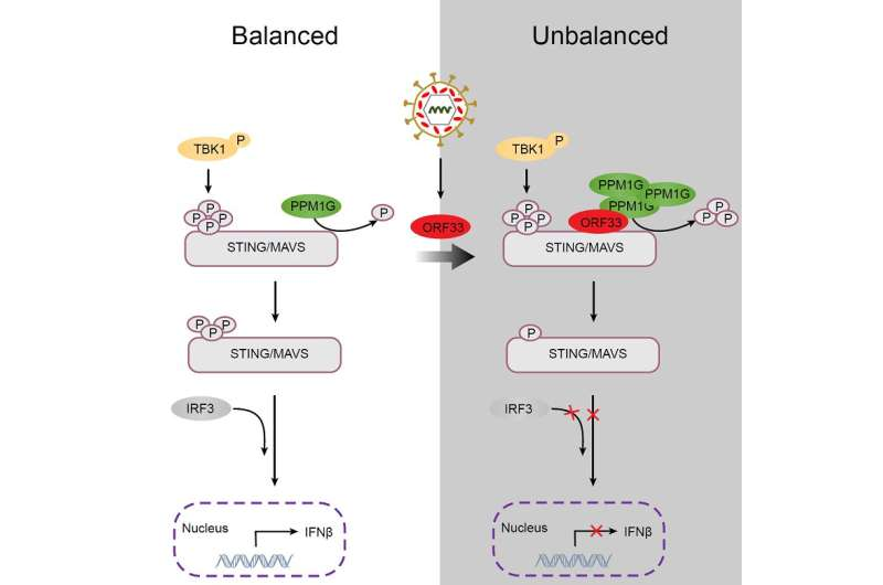 A host protein phosphatase restricts innate immune signaling