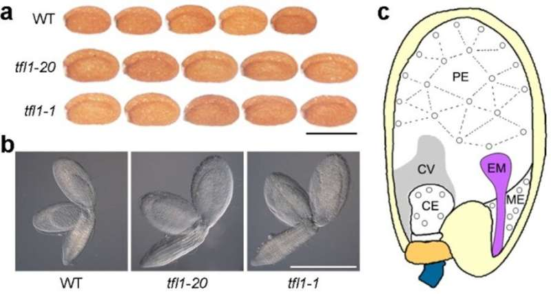A key molecular switch for controlling seed size
