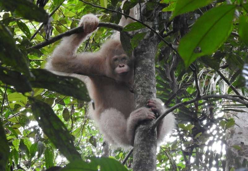 Alba, the world's only known albino orangutan, was released back into the wild in late 2018