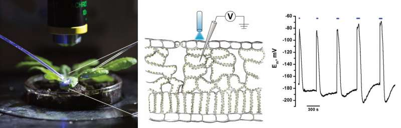 Algal blue light switch control of electrical excitation in plants
