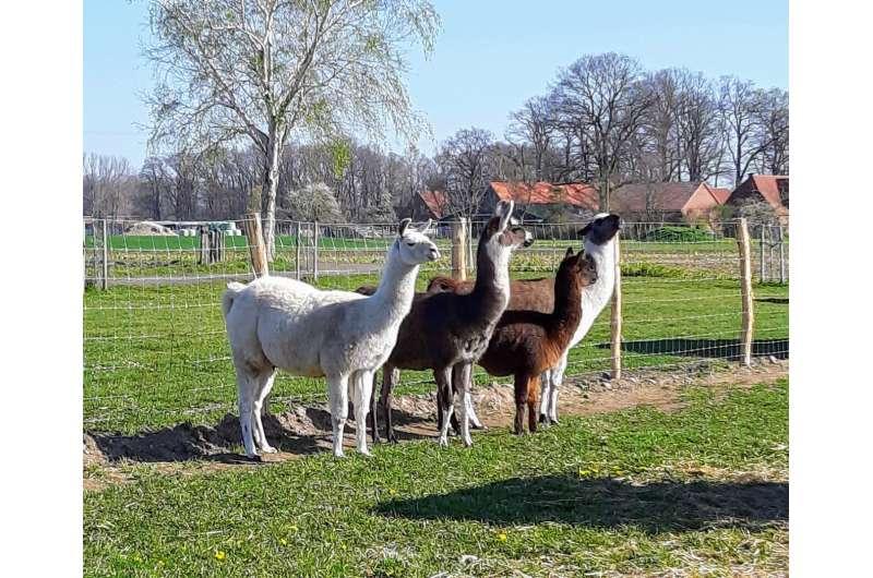 Alpacas and antibodies: How scientists hope to stop coronavirus in its tracks